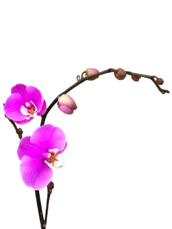 Phalaenopsis Moth Orchid 6 » Flowering Plants