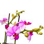 Phalaenopsis Moth Orchid 7 » Flowering Plants