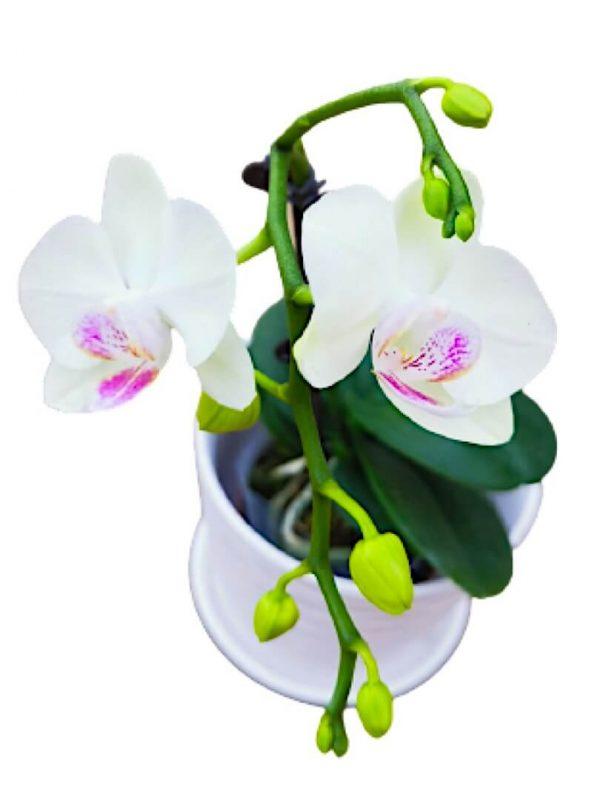 Phalaenopsis Moth Orchid 9 » Flowering Plants