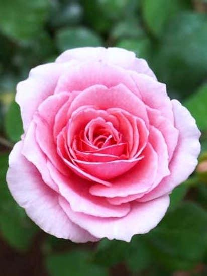 Rosa 'Pretty Jessica' » Rose Plants