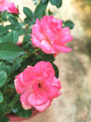 'Sakura-Gasumi' Rose