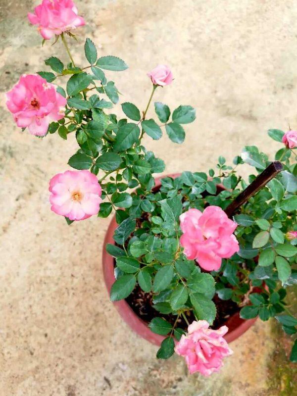 Japanese Rose 'Sakura-Gasumi' » Rose Plants