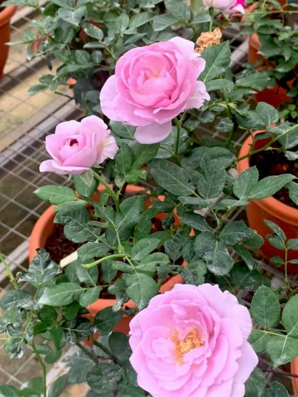 Japanese Roses 'Shinoburedo' » Rose Plants