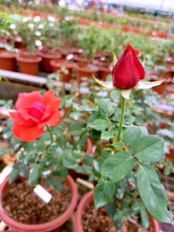 'Super Star' Blooming Rose » Rose Plants