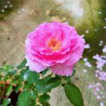 Japanese Rose 'Towa Parfan' » Rose Plants