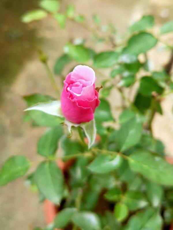 Japanese Rose 'Towa Parfan' Blooming » Rose Plants