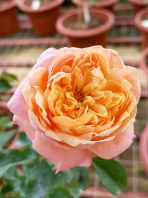 'Victorian Secret' Rose