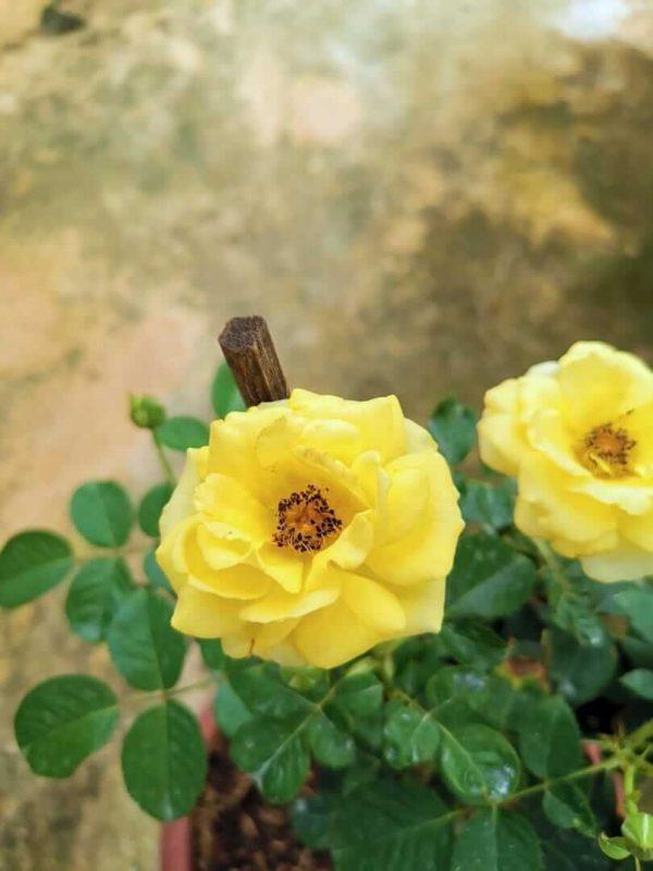 Rosa 'Walking on Sunshine' » Rose Plants