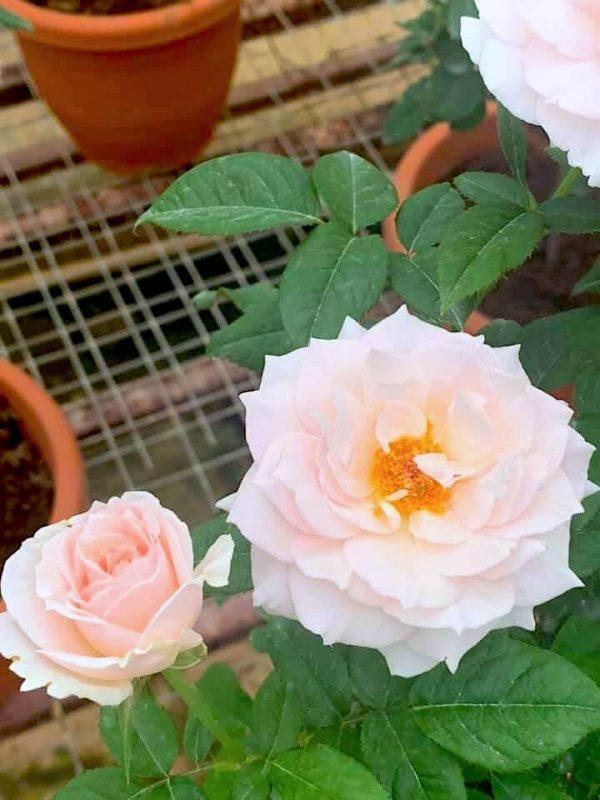 Japanese Roses 'Yuka Cup' » Rose Plants