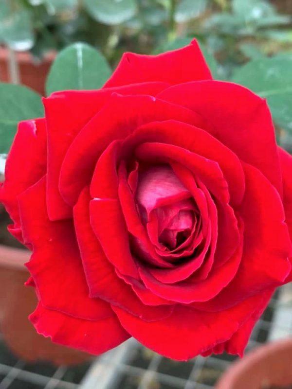 Rosa 'Alleluia' » Rose Plants