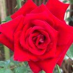 'Alleluia' Rose