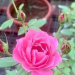 Japanese Rose 'Aoi' » Rose Plants