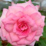 'Beverly' Rose