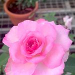 Rosa 'Beverly' Blooming » Rose Plants