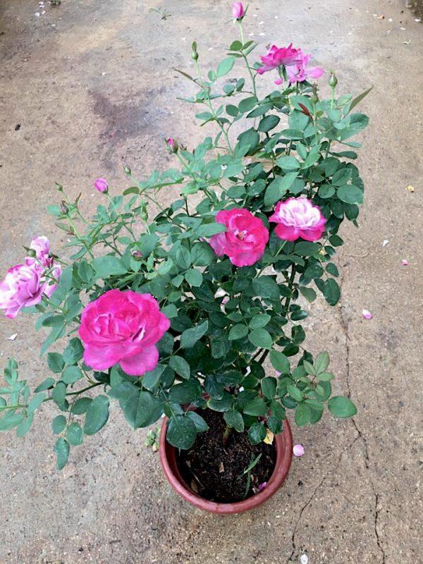 'Blue River' Rose Plant » Rose Plants