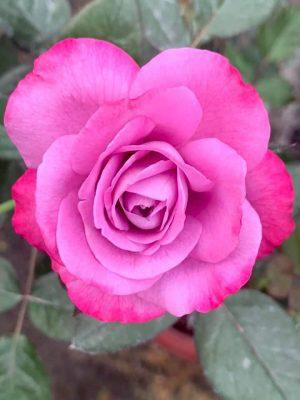 'Blue River' Rose
