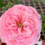 'Carey' Rose