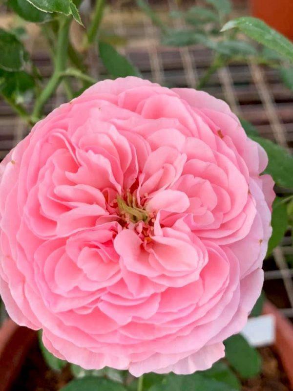 'Carey' Rose » Rose Plants