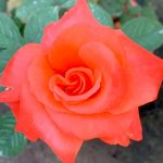 'Cary Grant' Rose