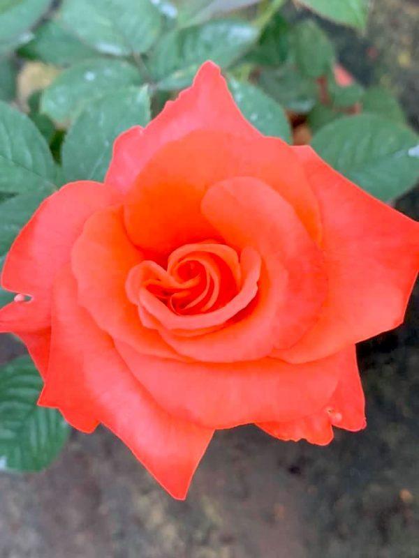 Rosa 'Cary Grant' » Rose Plants