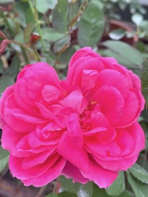 'Daeng Prasert' Rose