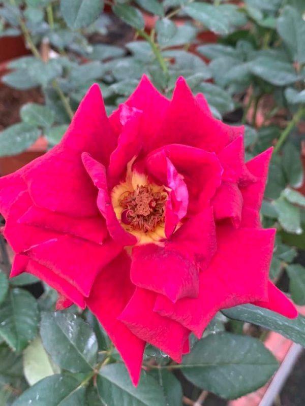 'Dark Knight' Rose » Rose Plants