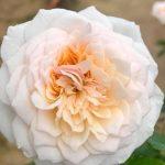 'English Garden' Rose