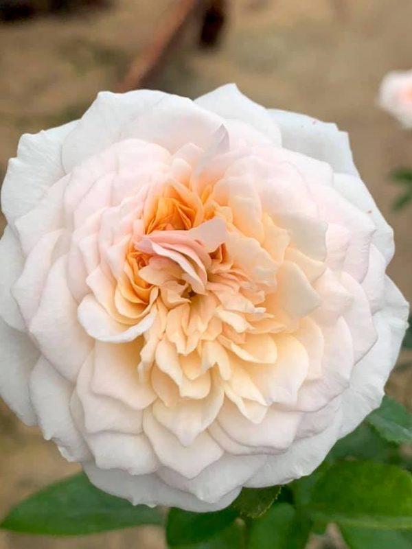 Rosa 'English Garden' » Rose Plants