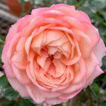 'Eve Classic Perfume' Rose