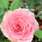 'First Lady' Rose