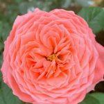 'Flamingo' Rose