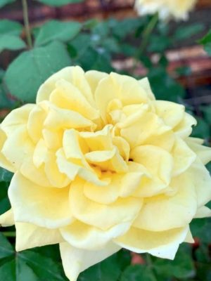 'Golden Fairy Tale' Rose