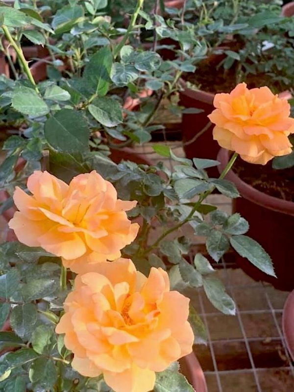 Rosa 'Good as Gold' » Rose Plants