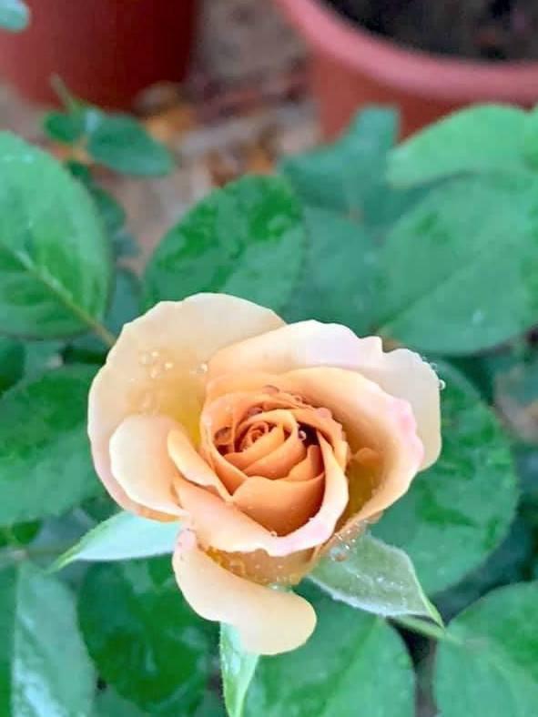 Rosa 'Honey Dijon' » Rose Plants