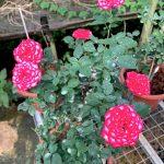 'Imp' Rose