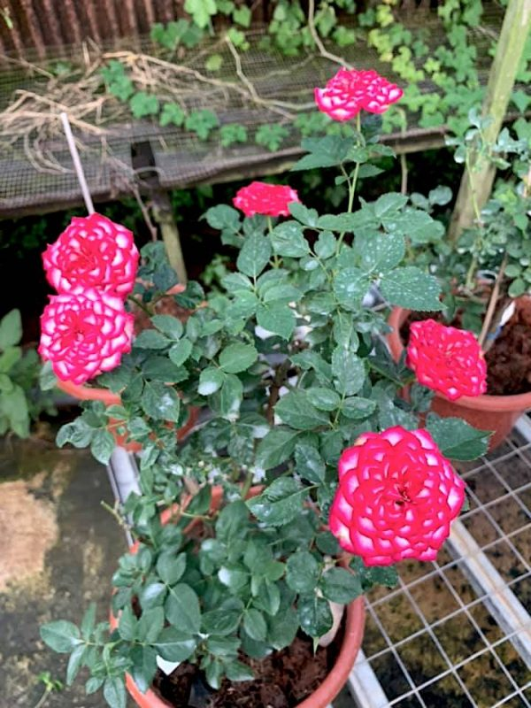 Rosa 'Imp' » Rose Plants
