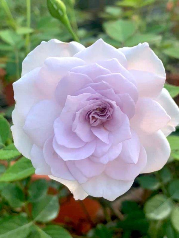 Japanese Rose 'Lapis Lazuli' » Rose Plants