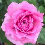 'Le Ciel Bleu' Rose