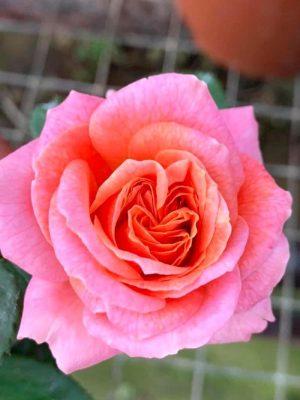 'Mary Ann' Rose