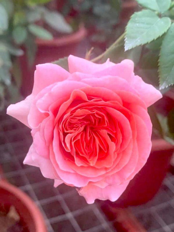 Rosa 'Mary Ann' » Rose Plants