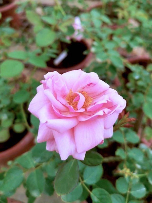 'Mill' Rose » Rose Plants