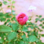 'Mill' Rose
