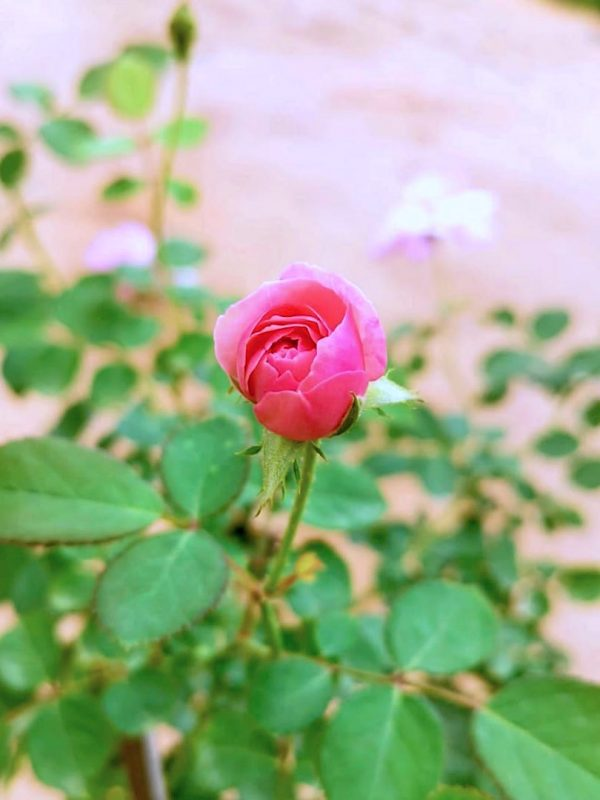 Blooming 'Mill' Rose » Rose Plants