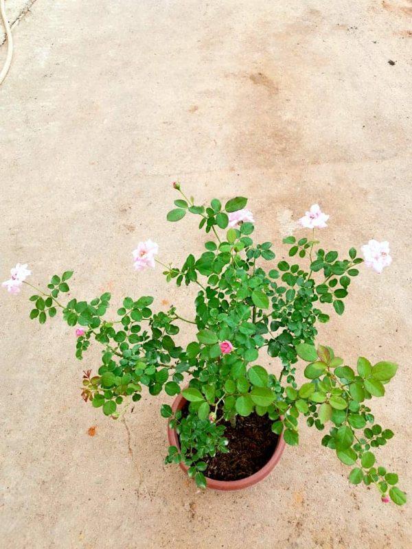 'Mill' Rose Plant » Rose Plants