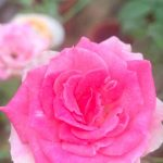 'Mini Eden' Rose