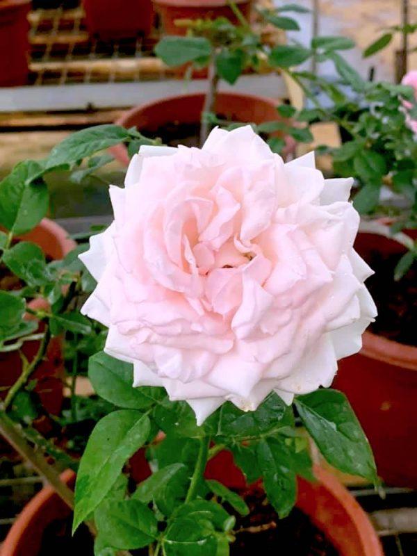 Japanese Rose 'Moko Moko' » Rose Plants