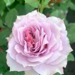 'Novalis' Rose