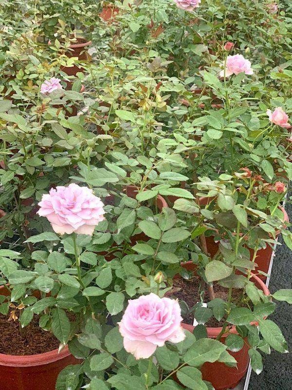 Rosa 'Novalis' » Rose Plants
