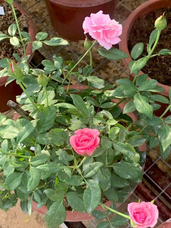 'Our Lady of Guadalupe (OLOG)' Rose Plant » Rose Plants