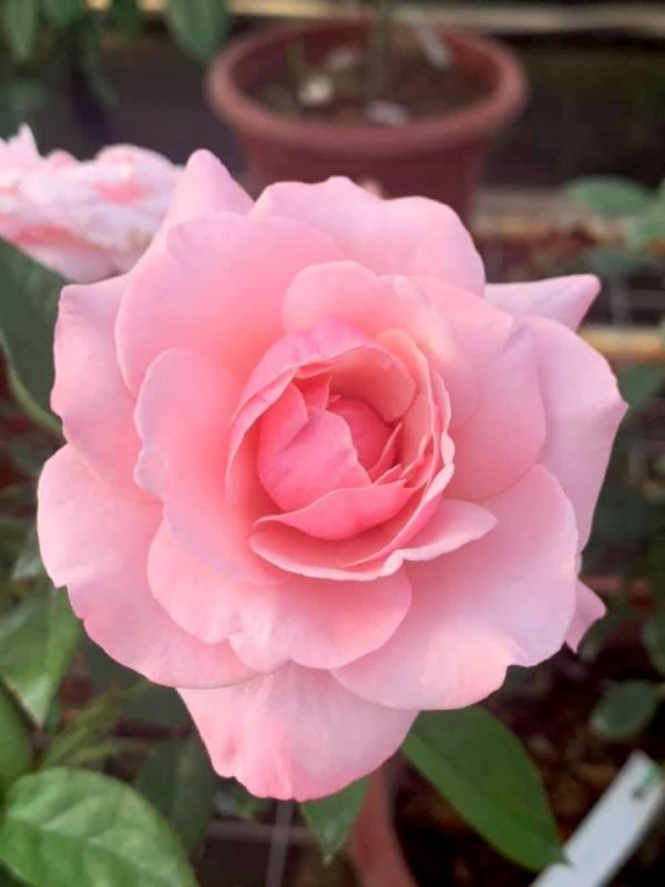 'Our Lady of Guadalupe (OLOG)' Rose » Rose Plants